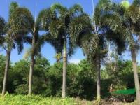 大小规格狐尾椰子4基地