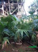 大小规格蒲葵4基地