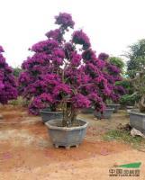 福建供应三角梅紫色桩景规格齐全