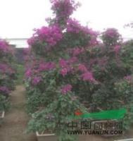紫色三角梅桩景行情报价/紫色三角梅桩景图片展示