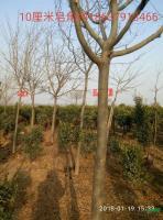 河南10公分皂角树介绍/特征/用途
