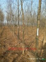 大小规格皂角树基地