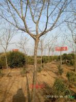 优质特价皂角树2产地直销