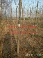 大小规格米径8-10公分皂角树基地