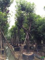 广东芒果树30-50公分直径批发/供应
