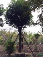 大小规格芒果树直径30-50公分基地