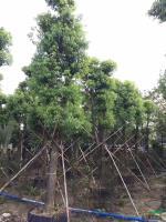 大小规格香樟18-35公分直径基地