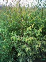 优质特价桉树产地直销