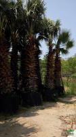 优质特价华盛顿棕榈产地直销