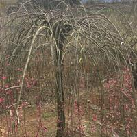 供應新品種--紅垂枝梅