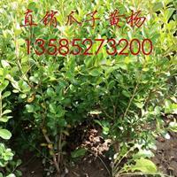 供应小叶黄杨球(高40X冠20小叶黄杨小毛球价格图片)黄杨苗