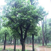 长期香泡、花梨木、金丝楠木、代代桔、瓜子黄杨