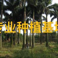 大王椰子树高10米批发