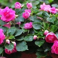 非洲鳳仙花價格【非洲鳳仙花供應商】非洲鳳仙種植基地