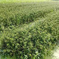 纸莎草水生植物销售|广西玉林水生植物销售