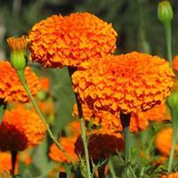 可以做花海的宿根花卉、花海農業四季海棠、波斯菊報價