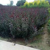 紫叶矮樱地栽苗多少钱一棵?紫叶矮樱产地在哪里?紫叶矮樱哪便宜