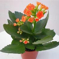长寿花热销,长寿花报价,宿根花卉长寿花,两年生宿根花海长寿花
