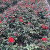 供应大花月季,丰花月季,藤本月季等各种月季小苗