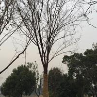 江蘇櫸樹報價 今年優質櫸樹 精品櫸樹 大規格櫸樹行情