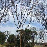 18公分榉树 19公分榉树 20公分榉树价格批发 江苏18公
