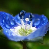 蓝色小花婆婆纳、婆婆纳的功效与作用、婆婆纳长什么样