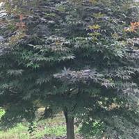 供應精品日本紅楓8-18公分紅豆杉8-15公分,及紅豆杉小苗