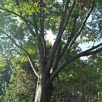 供应栾树12-30公分/沙朴树12-25公分出售