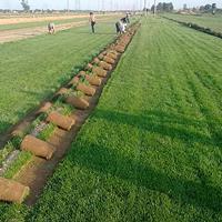 马尼拉草坪 草坪基地 耐寒草坪 护坡草坪