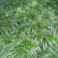 麦冬草 地被植物 细叶麦冬草 矮化麦冬草  批发麦冬草