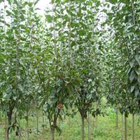 供精品垂絲海棠3公分到25公分和西府海棠2--20公分