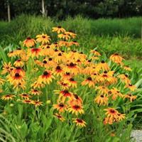 金光菊又名假向日葵、金光菊种植技术、金光菊农业百科
