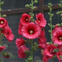 蜀葵开了 蜀葵花几月播种 蜀葵花新品种/四季播种