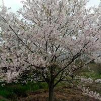 供雞爪槭紅楓紅梅日本櫻花八月桂垂絲海棠西府海棠無患子