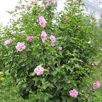 玫瑰木槿 紅花木槿 叢生木槿 獨桿木槿  木槿小苗 木槿價格
