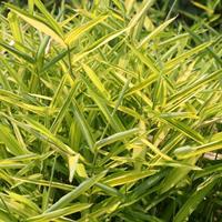 菲黄竹 各种竹类 地被类