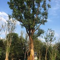 安徽黄连木15-40公分供应