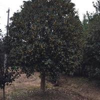 安徽地区桂花2米到6米供应