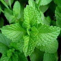 薄荷綠色高產栽培技術/綠色薄荷生產基地 /薄荷中藥