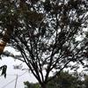江苏苏州常熟供应24~30公分红榉移栽苗