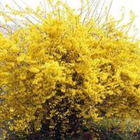 连翘花 连翘小苗 东北连翘苗 连翘花球 黄金条花