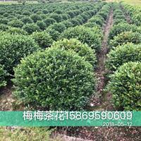 优质特价茶花6产地直销