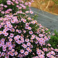 花美色艳的荷兰菊—纽约紫菀,荷兰菊哪里买,荷兰菊联系电话