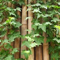 常春藤 四季常青爬山虎 常青藤小苗 爬藤植物