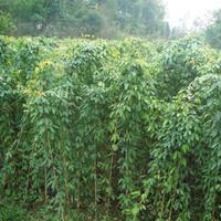 爬藤植物油麻藤 攀援植物油麻藤 油麻藤树苗