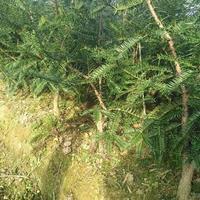 供应香榧,香榧苗地径2公分以上大苗