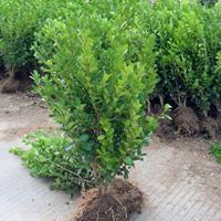 供应小叶黄杨高度30-40-50-60公分工程苗