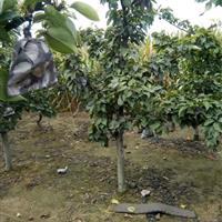 李子树,李子树价格,3公分李子树价格,5公分,8公分李子树。