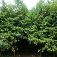 供应中山杉4-12公分 中山杉树苗 中山杉小苗