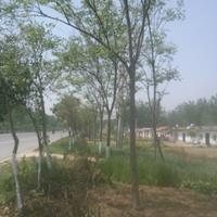 供应3合欢江苏合欢价格合欢产地合欢图片绒花树